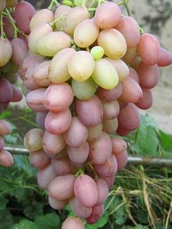 Как вырастить в Сибири виноград?